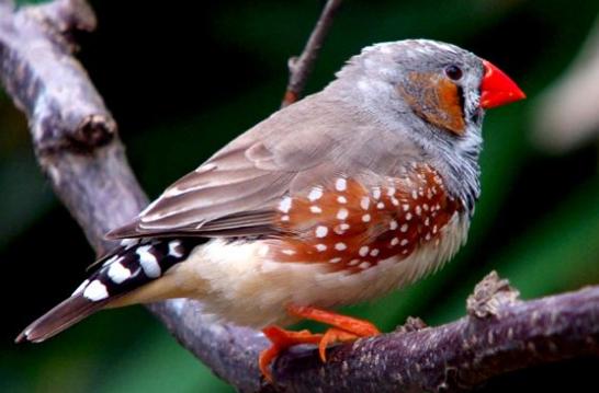金山珍珠鸟名字的由来 珍珠鸟为什么叫金山珍珠