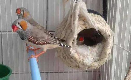 金山珍珠鸟和白珍珠哪个好 金山珍珠鸟和白珍珠鸟哪个好