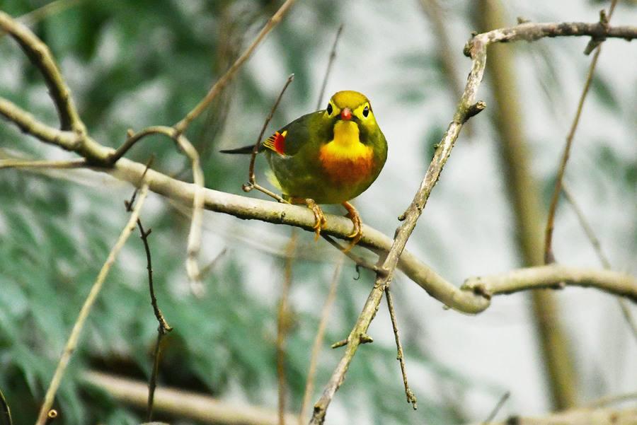 红嘴玉鸟大叫的方法 让红嘴玉鸟大叫的方法