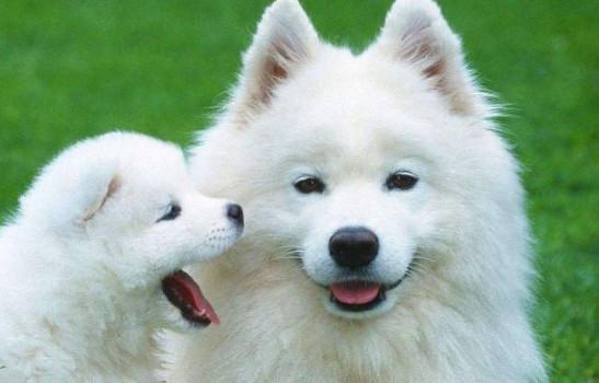 萨摩耶犬一般多少钱一只