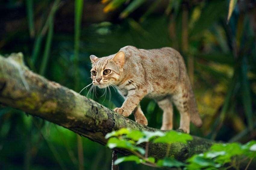 锈斑豹猫是国家保护动物吗 锈斑豹猫是不是国家保护动物