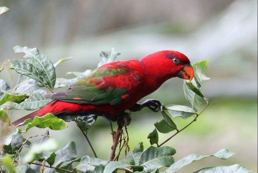 红色吸蜜鹦鹉怎么分公母 红色吸蜜鹦鹉性别辨认