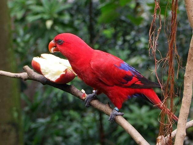 红色吸蜜鹦鹉是国家保护动物吗