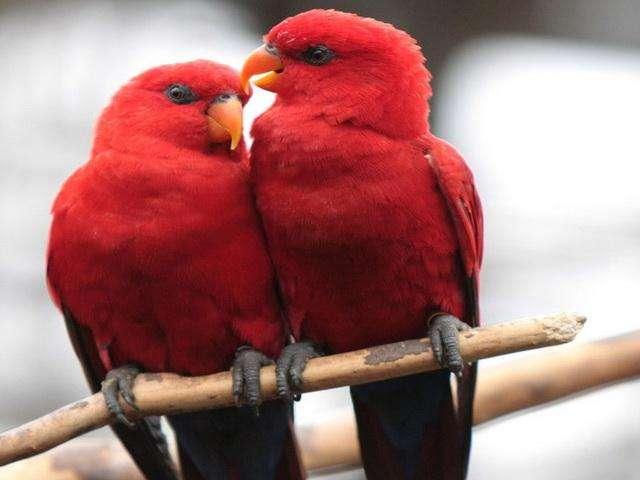 红色吸蜜鹦鹉体型多大 红色吸蜜鹦鹉的身长