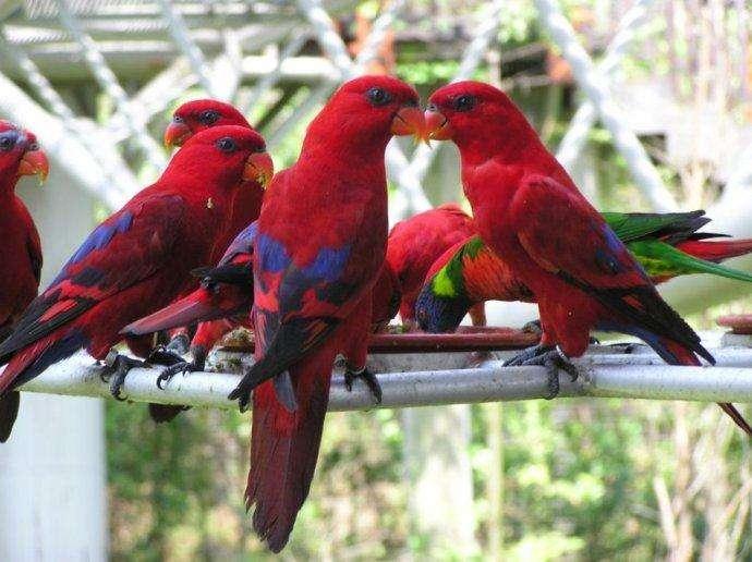 红色吸蜜鹦鹉会讲话吗 红色吸蜜鹦鹉会不会讲话