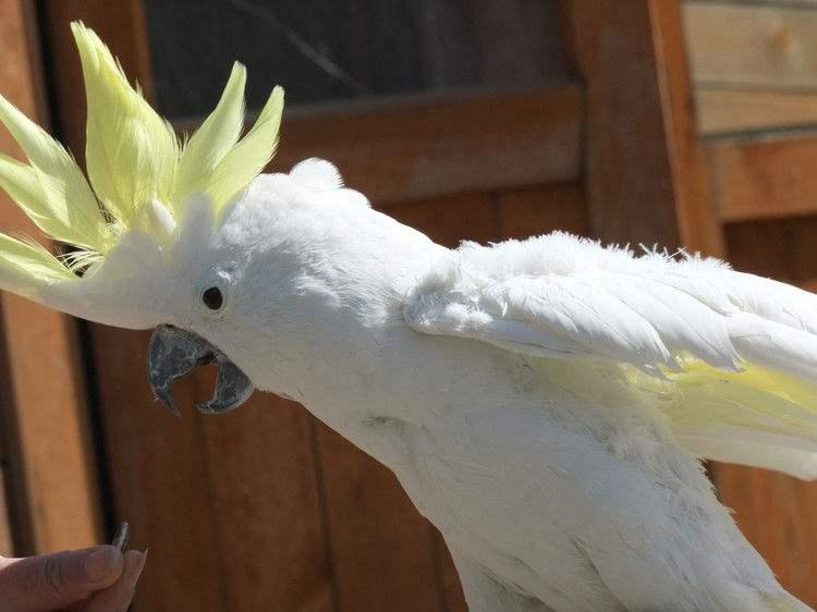 葵花凤头鹦鹉习性 葵花凤头鹦鹉的习性有哪些