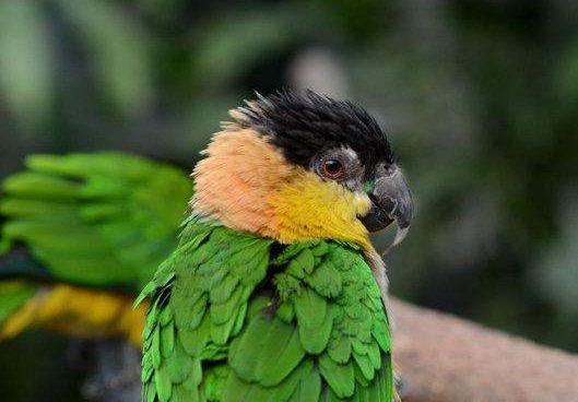 黑头凯克鹦鹉性格 黑头凯克鹦鹉是什么样的性格