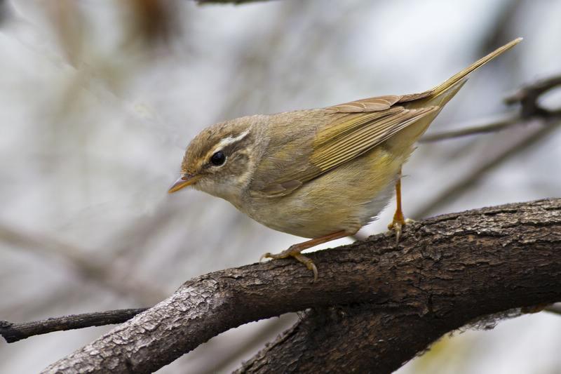 日本树莺怎么养 日本树莺驯养
