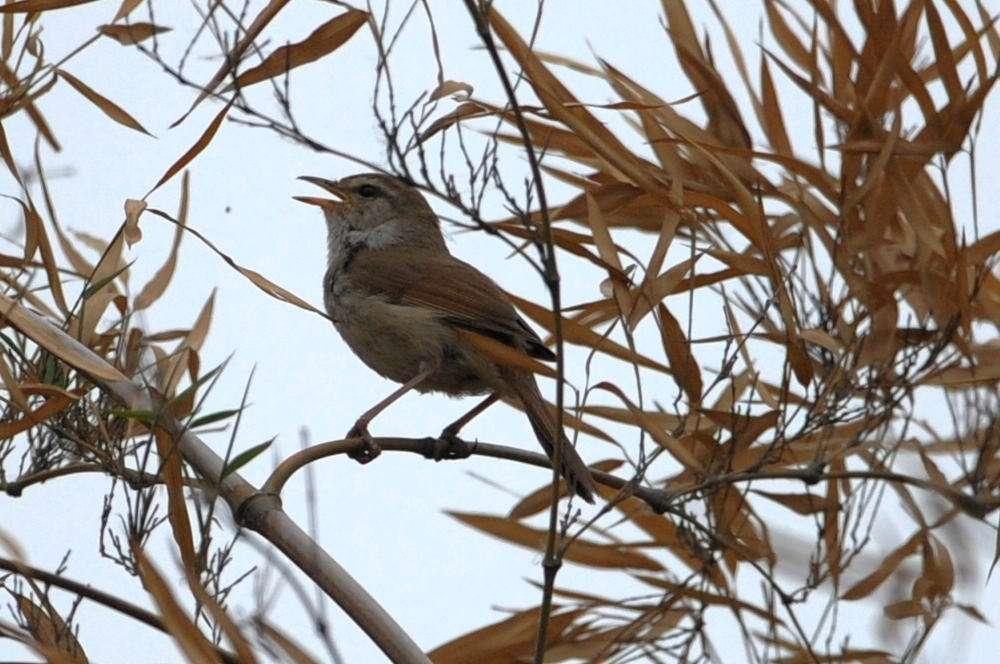 日本树莺喜欢吃啥料 日本树莺喜欢吃什么