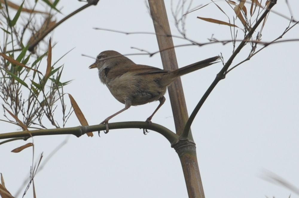 日本树莺与远东树莺的区别 大小不一样