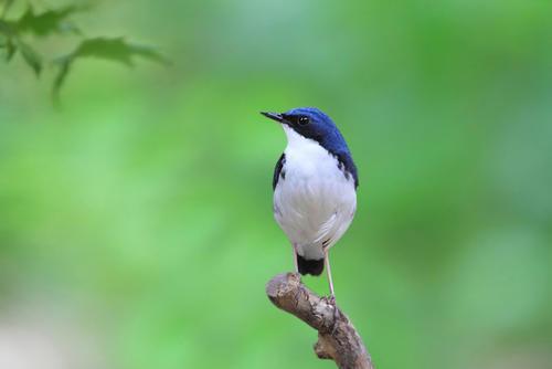 蓝尾巴根子鸟叫什么 蓝尾巴根子鸟又叫什么