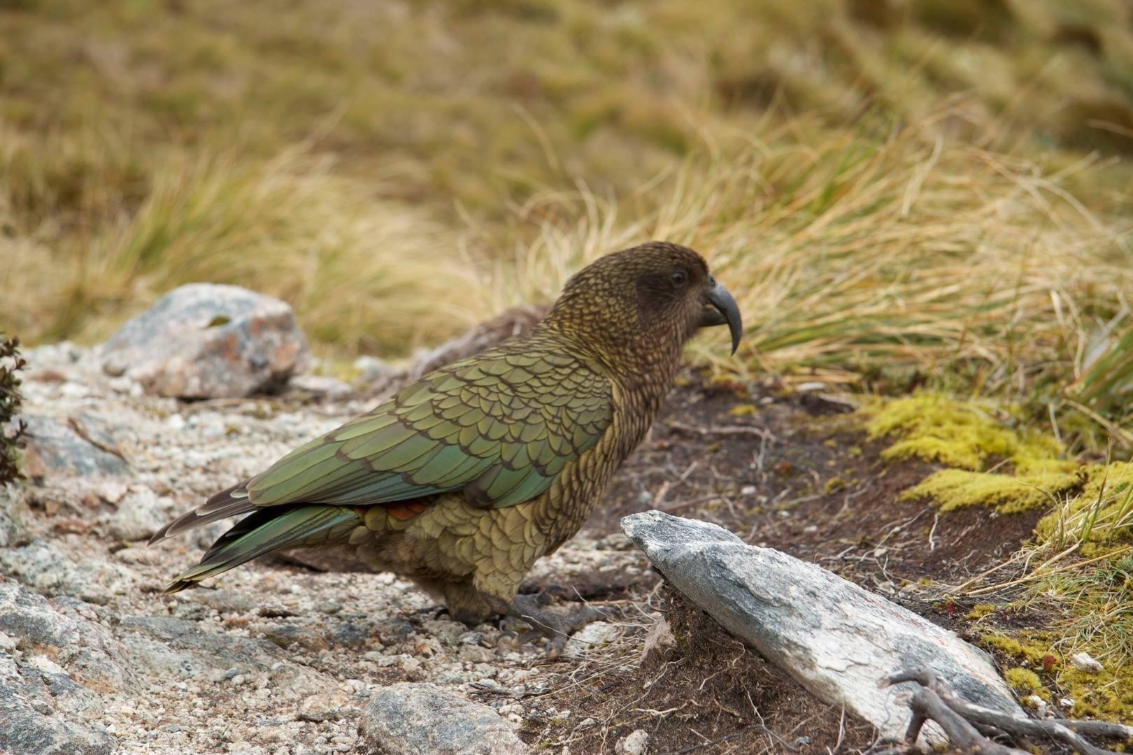 啄羊鹦鹉如何啄羊 啄羊鹦鹉是怎么啄羊的