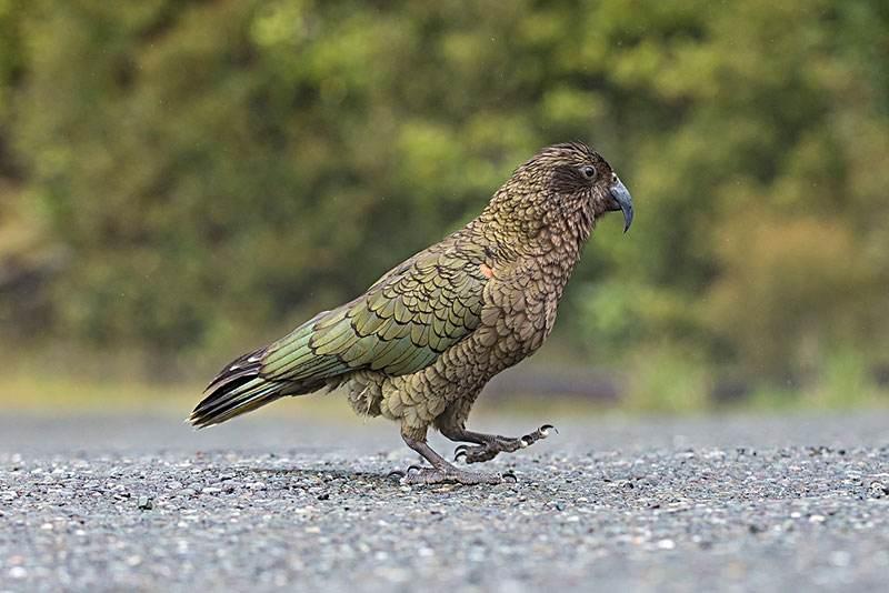 啄羊鹦鹉吃肉吗 啄羊鹦鹉吃不吃肉