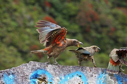 啄羊鹦鹉寿命 啄羊鹦鹉寿命多少