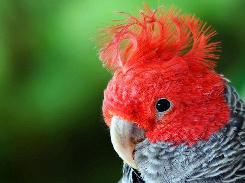 红冠鲑色凤头鹦鹉食料多少钱 红冠鲑色凤头鹦鹉饲料多少钱