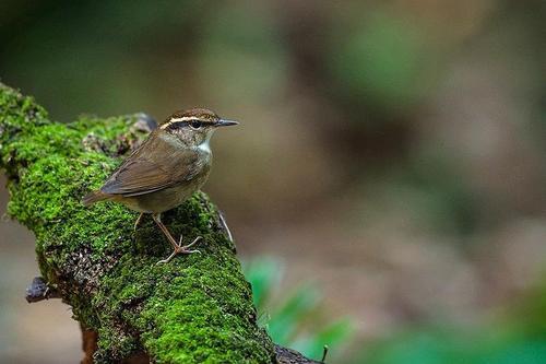 鳞头树莺幼鸟吃多少 鳞头树莺幼鸟喂多少合适