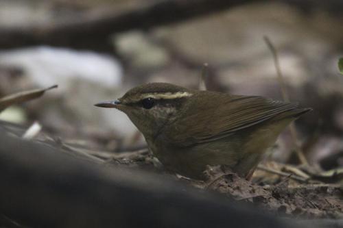 鳞头树莺可以养吗 鳞头树莺可以家养吗
