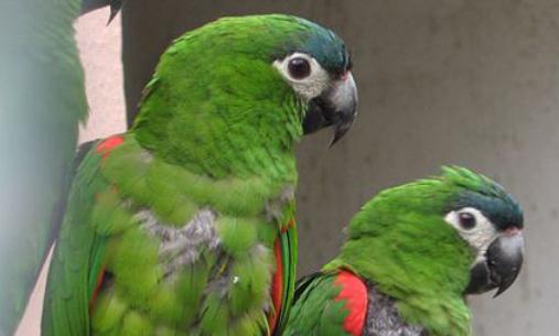红肩金刚鹦鹉价格 红肩金刚鹦鹉价格多少