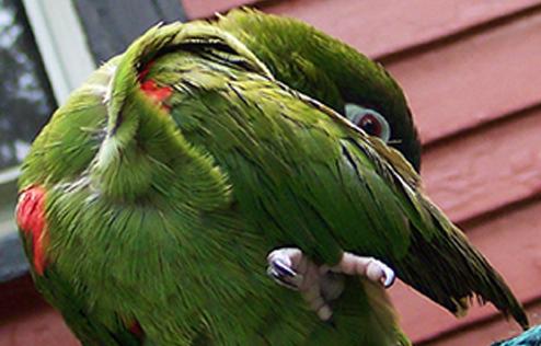 红肩金刚鹦鹉幼鸟喂养 红肩金刚鹦鹉怎么喂养