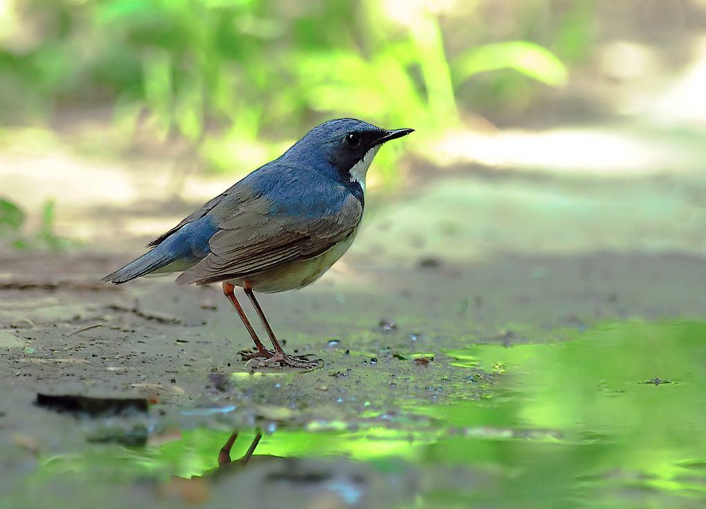 蓝靛杠鸟喜欢吃什么 蓝靛杠鸟喜欢吃什么食