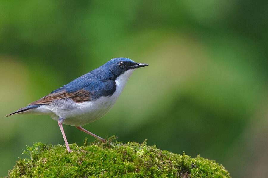 蓝靛杠鸟吃什么食 蓝靛杠鸟吃啥
