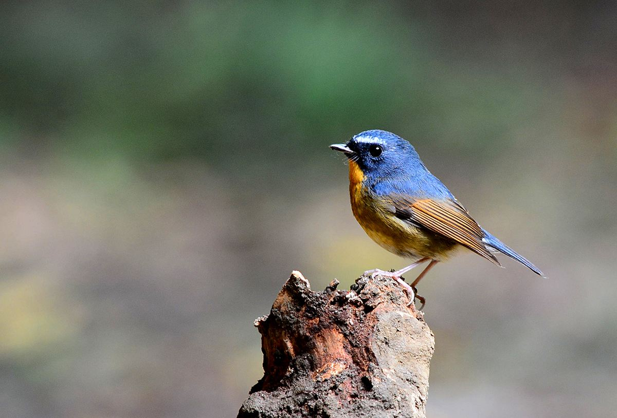 蓝靛杠鸟开食方法 蓝靛杠鸟怎么开食