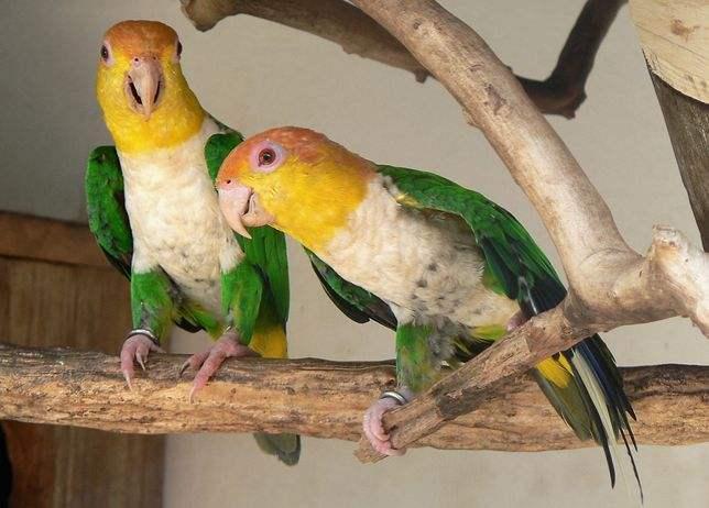 金头凯克鹦鹉几月繁殖 金头凯克鹦鹉什么时候繁殖