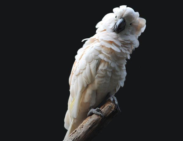 鲑色凤头鹦鹉的价格 鲑色凤头鹦鹉的价格多少