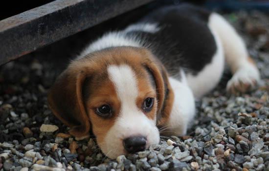 一个月的小狗有狂犬病吗 一般是没有的