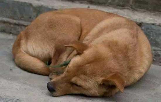 狗狗有弓形虫病有什么症状 狗弓形虫病的症状