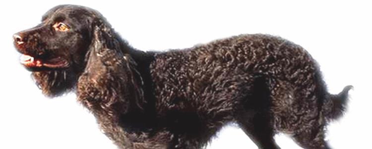 美国水猎犬哪里有卖 美国水猎犬哪里买