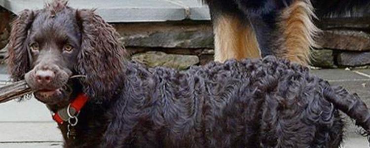 美国水猎犬好养吗 美国水猎犬适合养吗