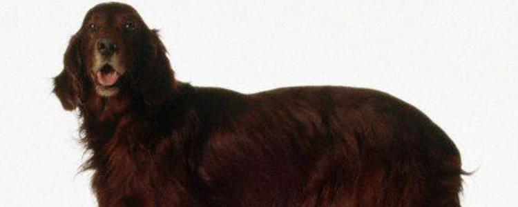美国水猎犬缺点 美国水猎犬缺点有哪些
