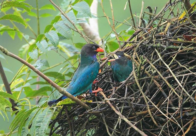 三宝鸟是杂食性鸟吗 三宝鸟是不是杂食性鸟