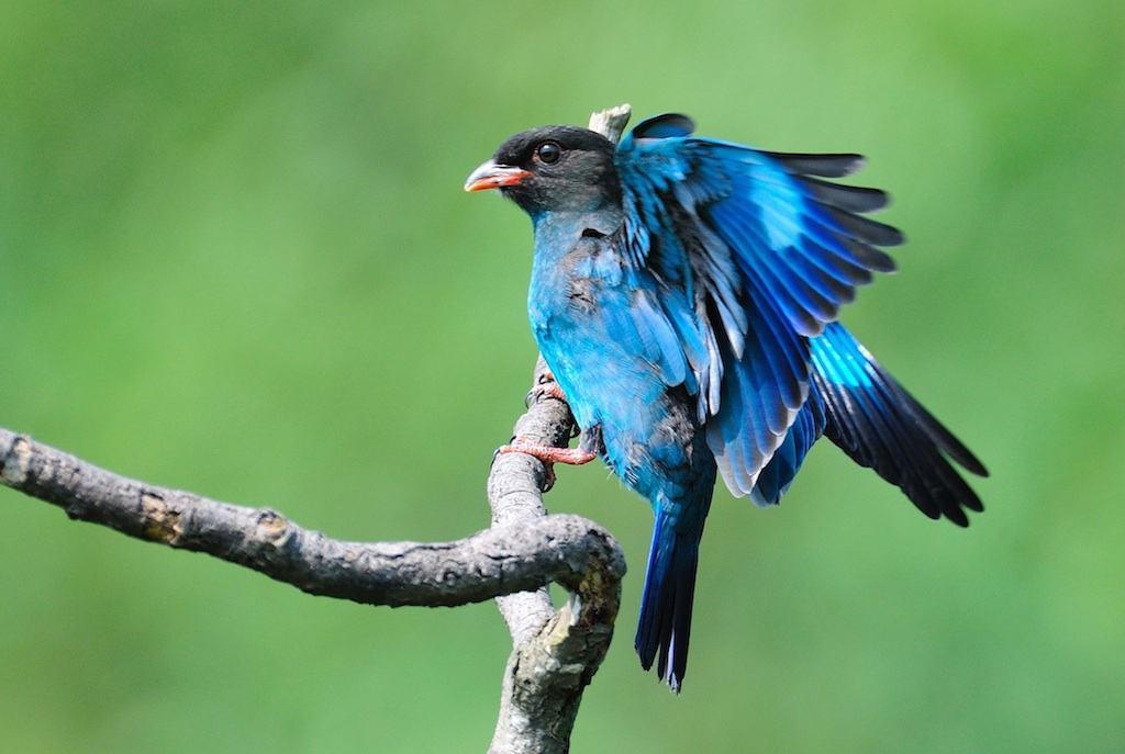 三宝鸟是益鸟吗 三宝鸟是吃害虫的动物吗