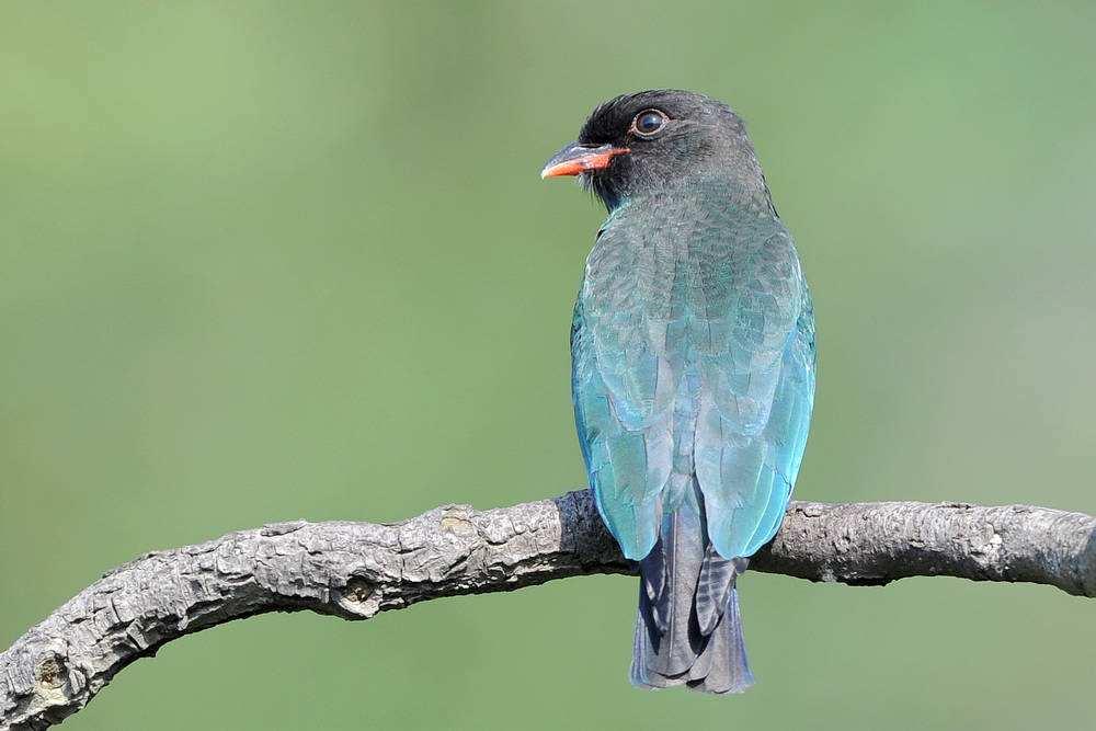 三宝鸟的喙是什么颜色 三宝鸟的嘴是什么颜色