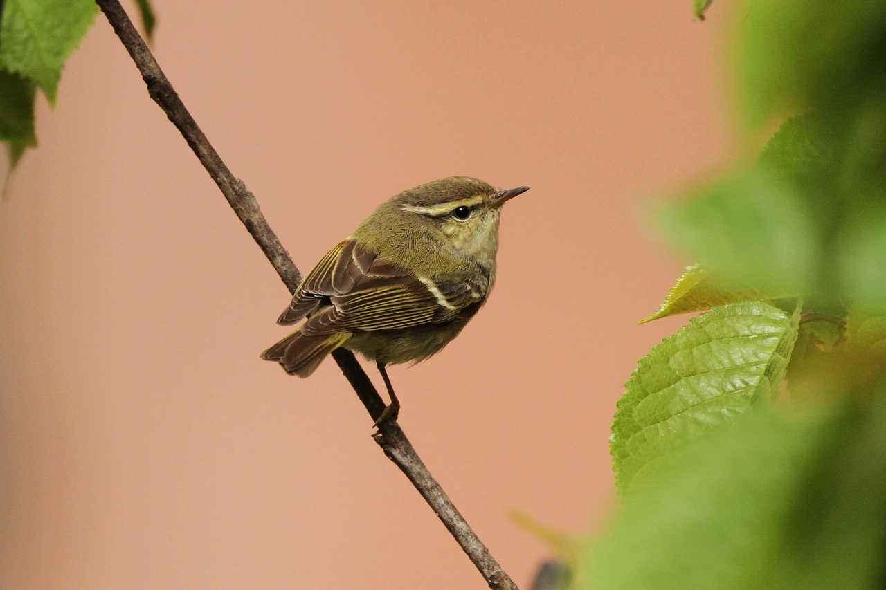 黄眉柳莺能活多长时间 黄眉柳莺寿命多长