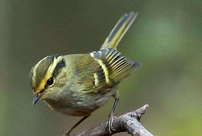 黄眉柳莺叫的好吗 黄眉柳莺鸟叫的好吗
