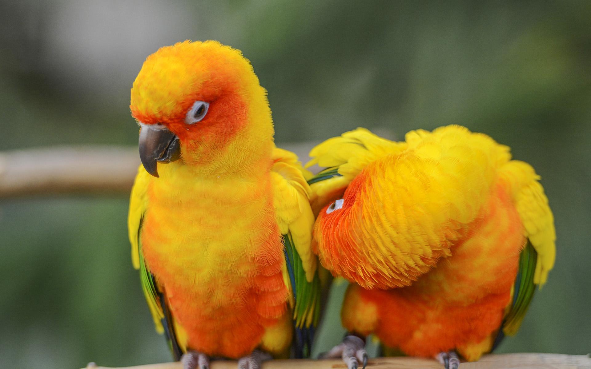 太阳锥尾鹦鹉是国家保护动物吗
