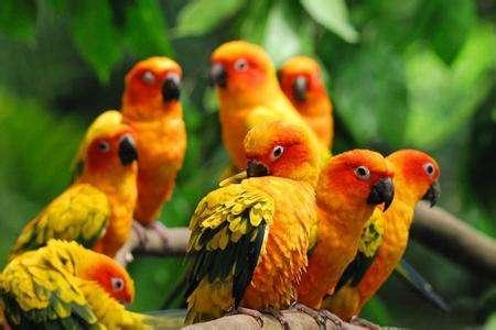 太阳锥尾鹦鹉是几级保护 太阳锥尾鹦鹉保护级别
