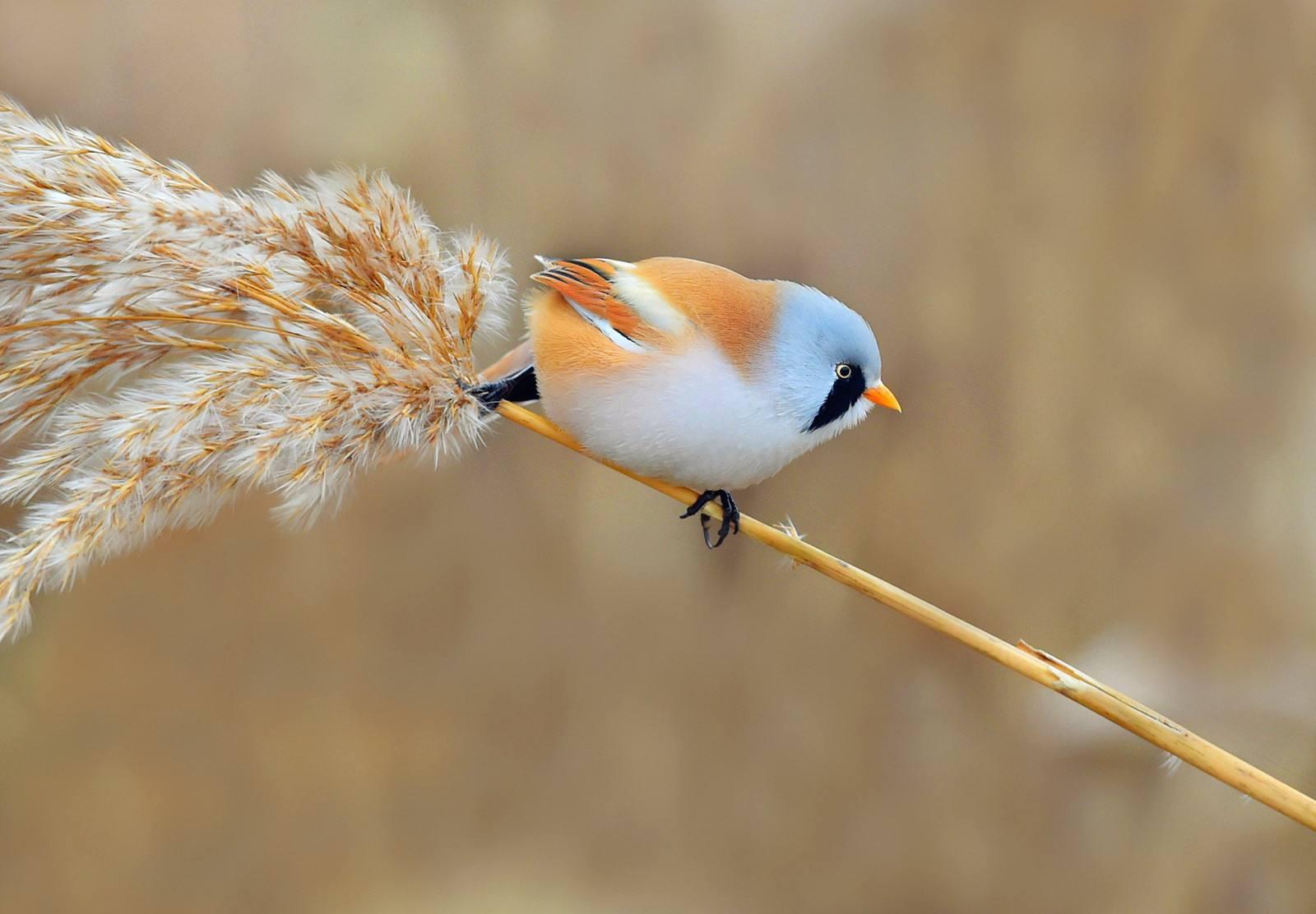 文须雀怎么开食 怎么给文须雀开食