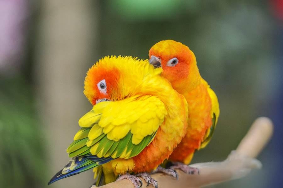 太阳锥尾鹦鹉有多少品种 太阳锥尾鹦鹉品种大全