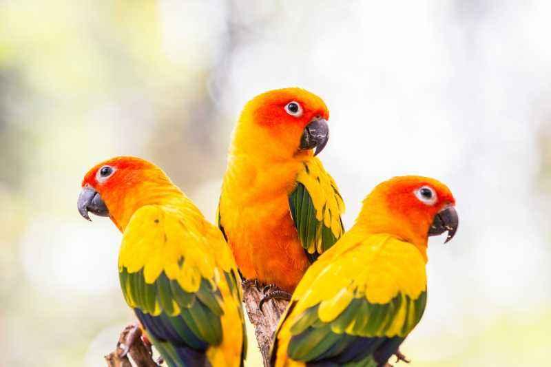 太阳锥尾鹦鹉的优点和缺点