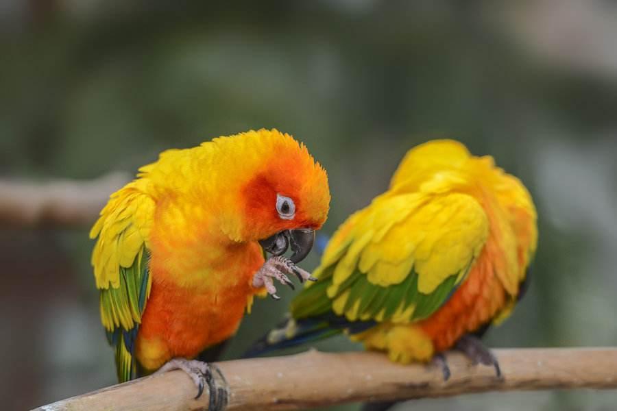 太阳锥尾鹦鹉性格 太阳锥尾鹦鹉性格如何