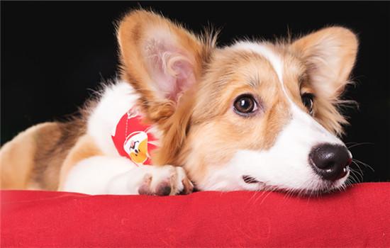 狗狗怀孕会有什么症状