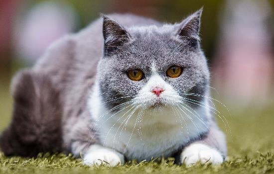 猫咪会哭吗 猫咪真的会哭吗