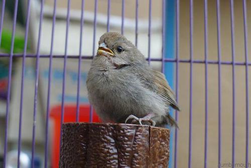 黄藤鸟是国家保护动物吗 黄藤鸟是保护动物吗