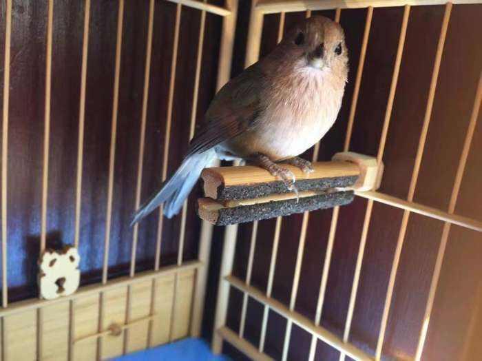 黄藤鸟怎么养 养鸟的八大变化