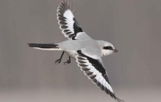 灰伯劳是几级保护动物 灰伯劳鸟是几级保护动物