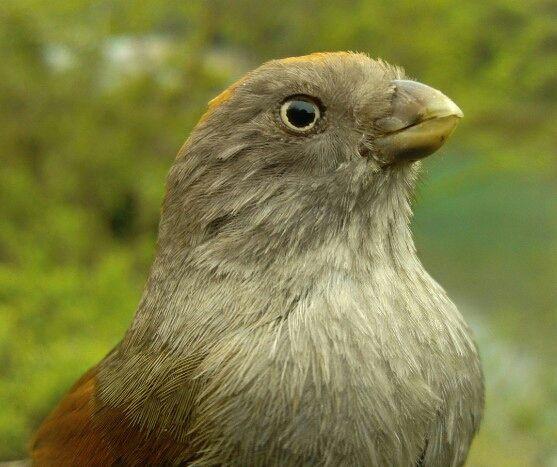 黄藤鸟怎么分公母 黄藤鸟公母辨别